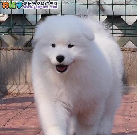 赛级双血统萨摩耶犬纯种萨摩耶幼犬哪里有卖犬舍繁殖保障