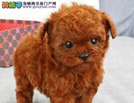 青岛知名犬舍出售多种颜色的泰迪犬 茶杯玩具血系均有