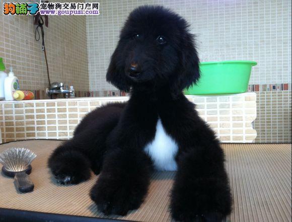 宜昌直销阿富汗猎犬健康保障赛级阿富汗猎犬出售