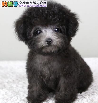 出售多种颜色遵义纯种泰迪犬幼犬同城免费送货上门2