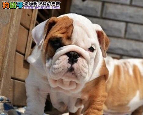 宁波售纯种英国斗牛犬家庭优选犬种纯种健康视频挑选