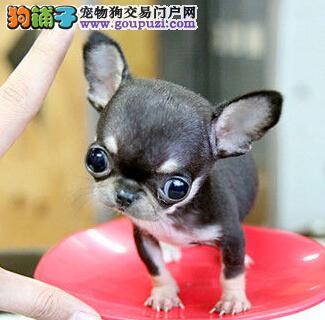 非常粘人可爱的小吉娃娃幼犬西安开卖啦 非常袖珍的