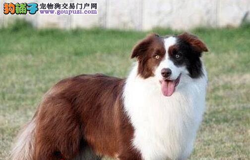 广州售精品边境牧羊犬 边牧公狗幼犬