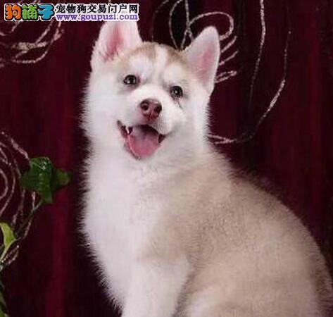 上海犬舍出售三把火蓝眼睛哈士奇好品相驱虫已做