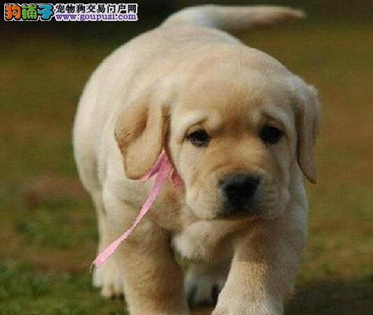成都犬舍繁殖直销奶油拉布拉多包疫苗健康拉拉包养活