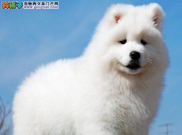 上海繁殖出售毛色靓头版圆萨摩耶犬可爱迷人魔法天使