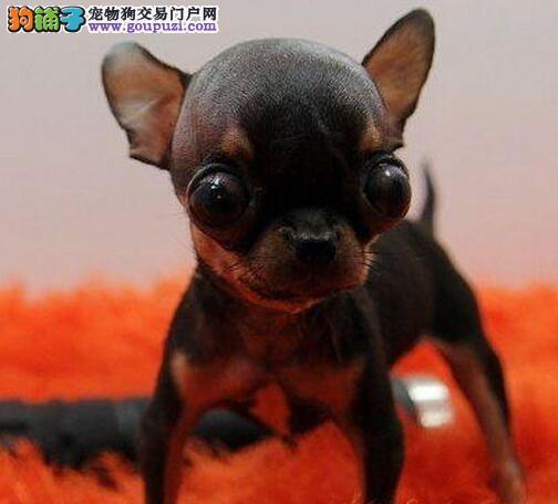 CKU认证犬舍 专业出售极品 吉娃娃幼犬终身质保终身护养指导