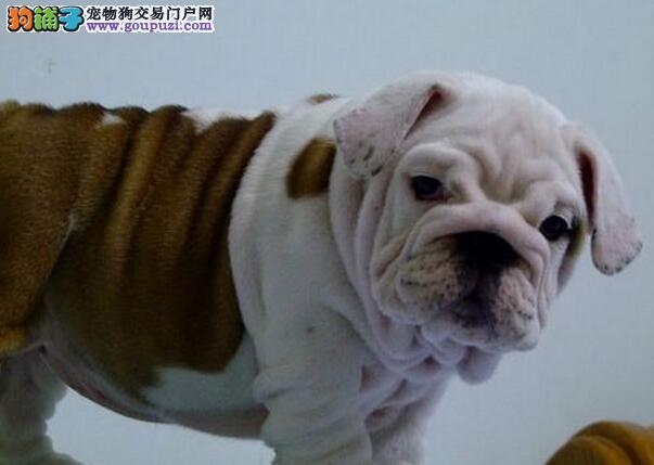 上海出售英国斗牛犬 英牛犬幼犬公母全有欢迎选购3