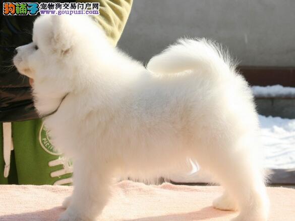 低价出售人见人爱聪明伶俐活泼可爱的重庆萨摩耶犬
