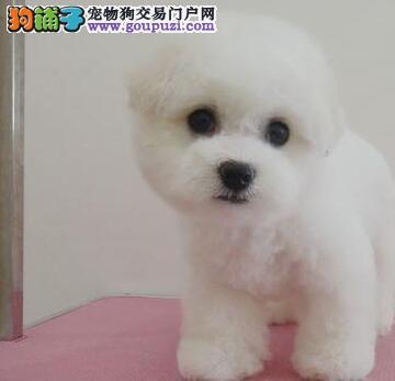 北京高品质比熊犬幼犬 巴比熊犬 棉花糖白色粉扑出售