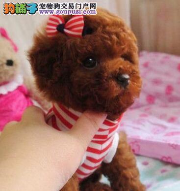 常年出售纯种精品的北京泰迪犬 专业缔造完美品质4