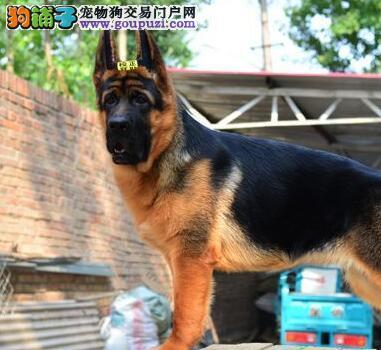 纯种黑背德国牧羊犬幼崽温州热卖 包健康 可上门选狗
