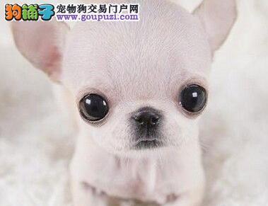 狗场热卖专业繁殖的郑州吉娃娃保纯度保血统