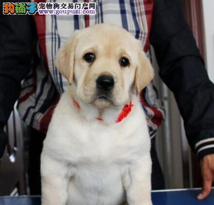 狗场热卖温顺忠诚的拉布拉多犬 郑州市区内可送货
