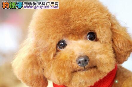 泰迪犬哈尔滨最大的正规犬舍完美售后可直接视频挑选