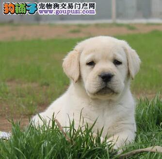 出售多种颜色纯种拉布拉多幼犬优质服务终身售后