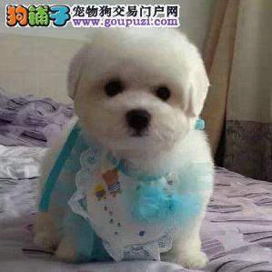 实体店特价促销齐齐哈尔比熊犬疫苗已注射