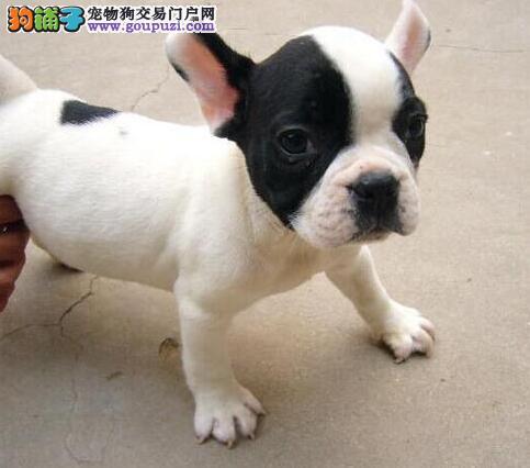 上海可爱法国斗牛犬幼犬出售 无异味不掉毛的宠物狗