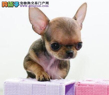 大眼睛漂亮可爱的西安吉娃娃幼犬出售中 驱虫都做好