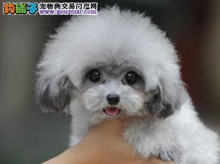 可爱纯种韩系泰迪犬长春正规犬舍热销 国外引进品质高