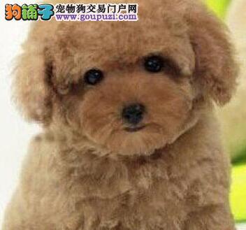 西安售家养茶杯泰迪宝宝疫苗驱虫已做可视频看狗