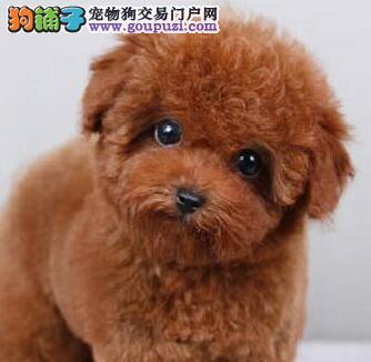 北京出售贵宾犬贵妇犬纯种健康签协议可见父母疫苗齐全