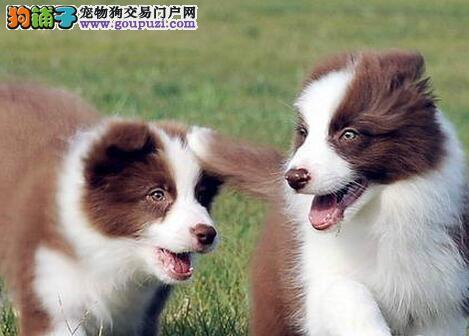 七白到位的边境牧羊犬出售了 品相极佳 身体健康