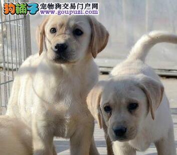 贵阳赛级冠军级种犬后代拉布拉多犬小七包活健康