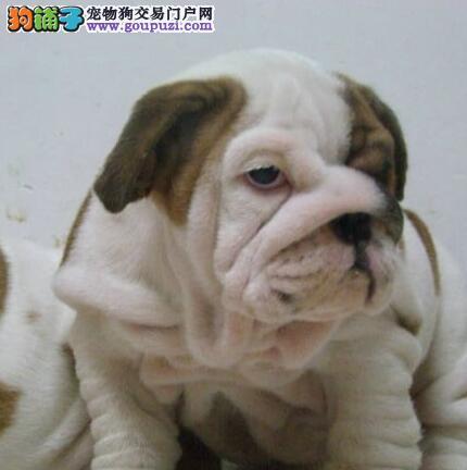 斗牛犬价格_斗牛犬多少钱_斗牛犬图片1