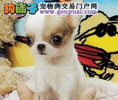 广州狗场专业繁殖纯种苹果头吉娃娃幼犬 多只可挑选