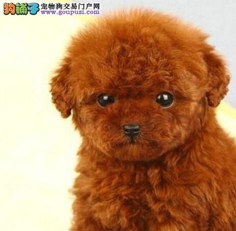 株洲自家繁殖泰迪犬出售颜色多只可挑选包售后