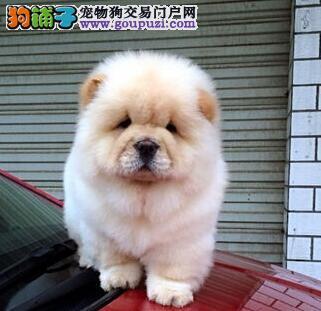 肉嘴紫舌极品松狮北京出售图片