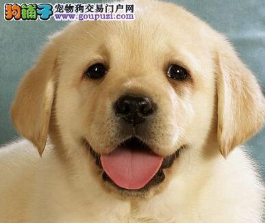 国际注册犬舍 出售极品赛级拉布拉多幼犬长沙地区可包邮
