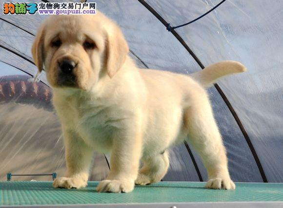 福州大型犬舍出售冠军血系拉布拉多犬 终身质保