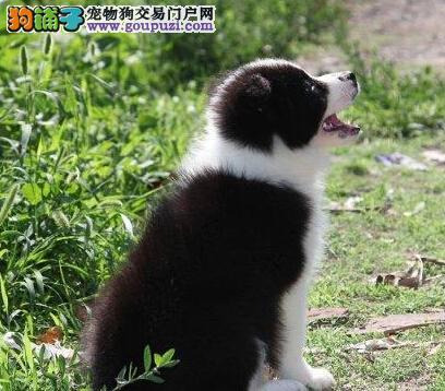 广州售极品边境牧羊犬 边牧幼犬品质保证