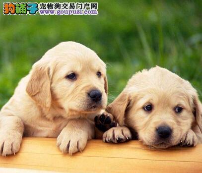 成都养殖场直销金毛犬幼犬 包纯种健康可签保障协议