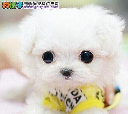 天津出售高品质球体哈多利博美犬宝宝 保证健康
