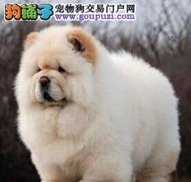 养殖场促销大毛量松狮犬杭州地区购买送用品