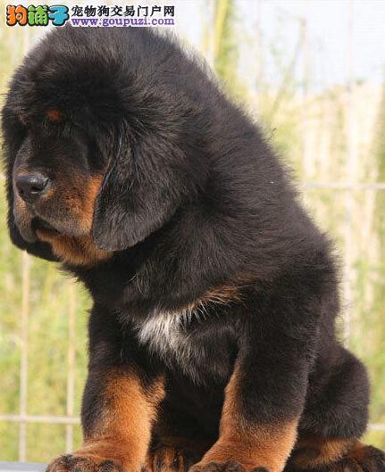 赛级品质藏獒幼犬出售 成都地区最低价品质最高3