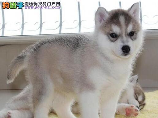 纯种哈士奇二哈西伯利亚雪橇犬北京出售