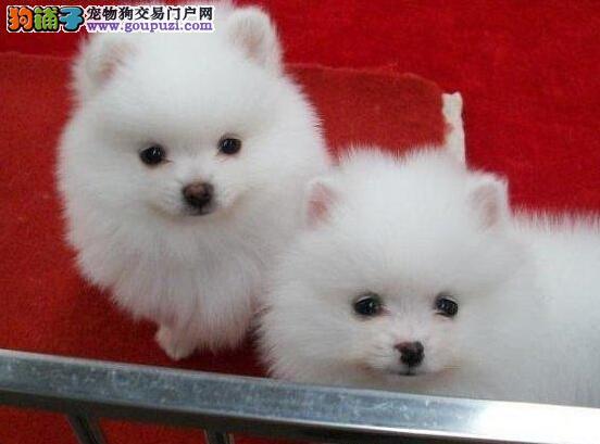 成都自家犬舍出售纯种博美幼犬包健康包养活送用品
