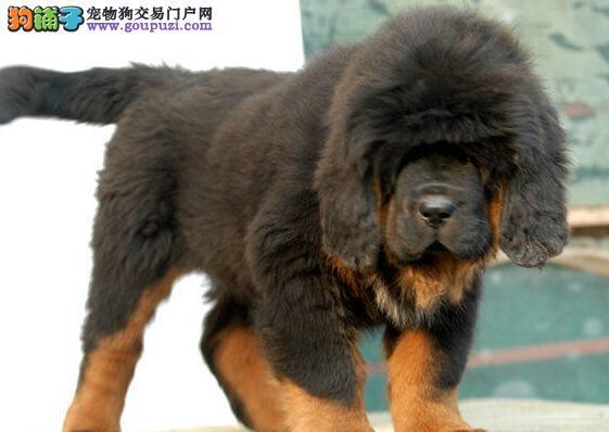 赛级品质藏獒幼犬出售 成都地区最低价品质最高4
