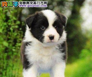 家养边境牧羊犬出售、专业繁殖宝宝健康、购犬可签协议