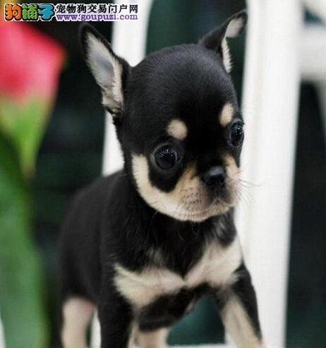 狗场繁殖纯种吉娃娃幼犬 纯种健康 终生质保 签协议