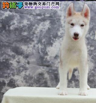 上海养殖场直销三把火双蓝眼哈士奇幼犬终身售后可送