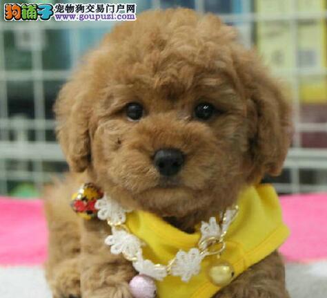 可爱至极的广州泰迪犬找新主人啦 购买可签订协3