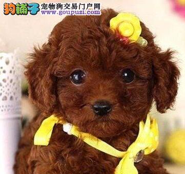 可爱至极的广州泰迪犬找新主人啦 购买可签订协1