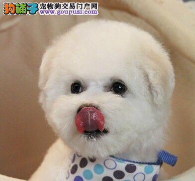 上海售雪白比熊犬巴比熊犬 白色粉扑