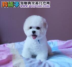 上海售韩国引进比熊幼犬 大眼睛巴比熊犬 白色粉扑