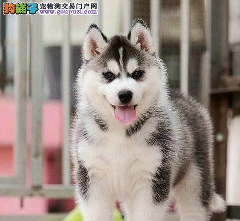出售品质好血统纯的深圳哈士奇幼犬 签订合法售后协议
